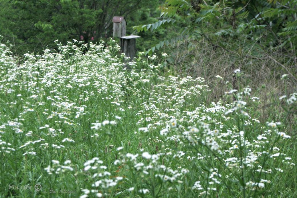 IMG_9621 white wild flowers.jpg