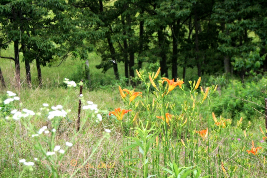 IMG_9628 tiger lilies in pasture.jpg