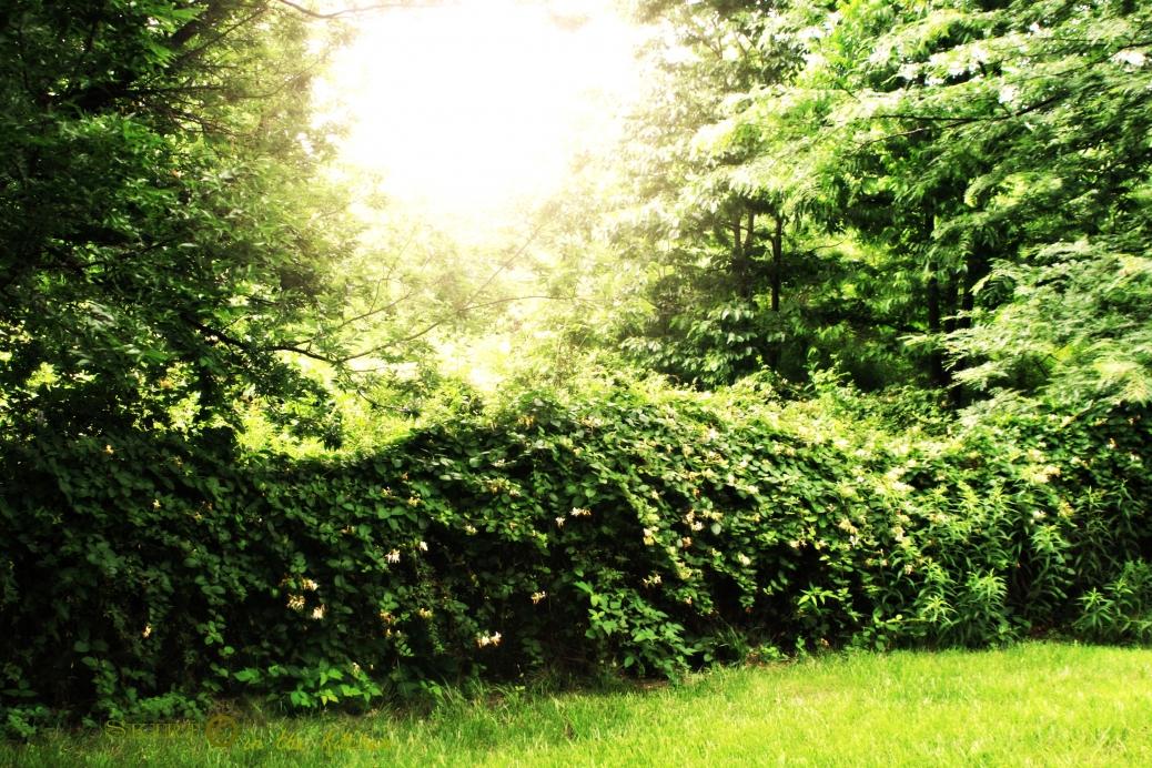 IMG_9667 honeysuckle vine.jpg