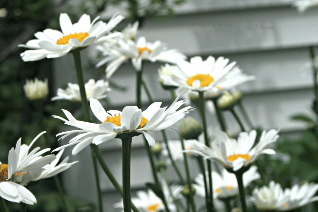 IMG_9760 summer daisies.jpg