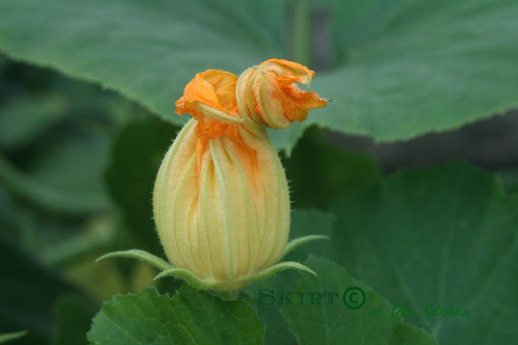 IMG_0155 pumpkin blossom