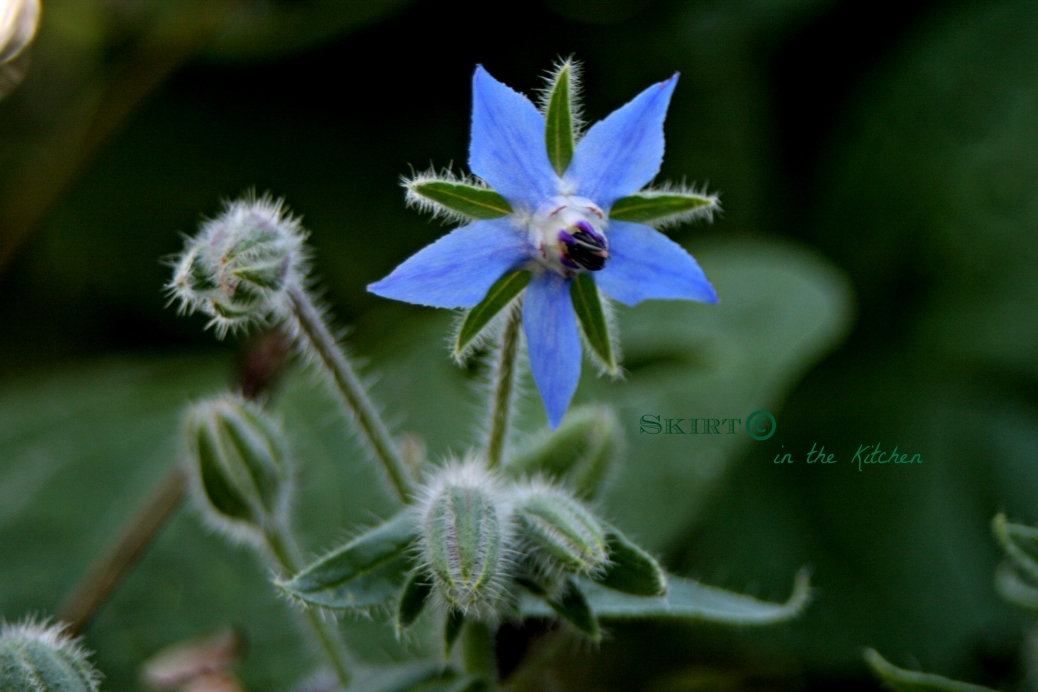 IMG_2895 Borage Blue