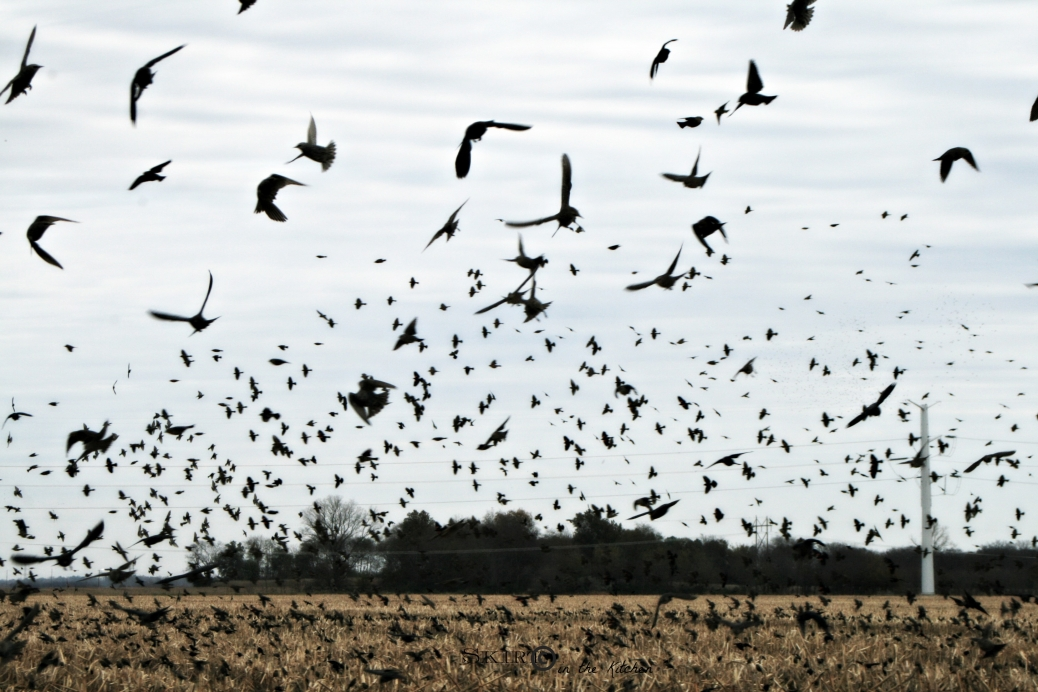 IMG_3771 black birds