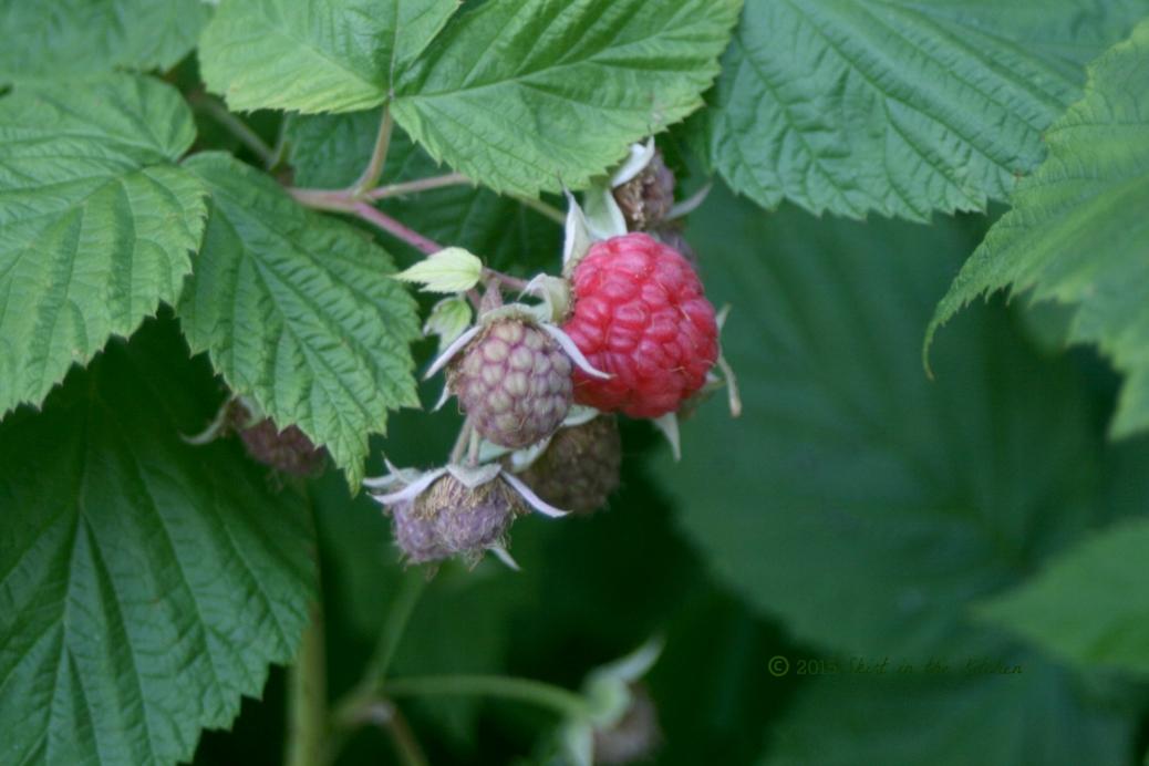 IMG_7983 Fruitful Summer